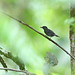 Plain-winged Antshrike