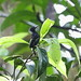White-flanked Antwren
