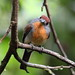 Rufous-capped Nunlet