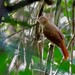Chestnut-crowned Foliage-gleaner/Barranqueiro-de-coroa-castanha/Ticotico coronicastaño (Automolus rufipileatus)