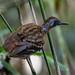 Wing-banded Antbird/Pinto-do-mato-carijó/Hormiguero alifranjeado (Myrmornis torquata)