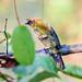 Helmeted Manakin (Antilophia galeata), immature male