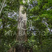 Árvore Samaúma
