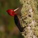 Pica-pau-rei / Robust Woodpecker
