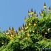 Sibipiruna Flowering, False Brazilwood, F. Hills, Brazil