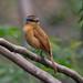 Caneleiro / Chestnut-crowned Becard