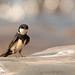 Black-collared Swallow (Atticora melanoleuca)