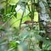 Long-billed Gnatwren