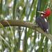 Robust Woodpecker (Campephilus robustus)