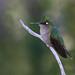 Beija-flor-de-topete (fêmea) / Plovercrest Hummingbird (female)