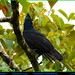 AMAZONIAN UMBRELLABIRD Cephalopterus ornatus along the Loreto Road on the Eastern Slope of the Andes in ECUADOR. Cotinga Photo by Peter Wendelken.