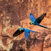 Indigo Macaws in flight