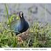 Purple gallinule #6