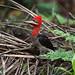 Robust Woodpecker (male)