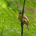 Mionectes Ocráceo, Ochre-bellied Flycatcher (Mionectes oleagineus)