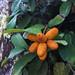 Annonaceae fruits on the plants
