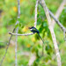 Paradise Jacamar (amazonum) (Galbula dea amazonum), male