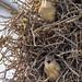 Phacellodomus rufifrons - Rufous-fronted Thornbird - Espinero Común - Castillero Llanero 01