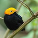Golden-headed Manakin (Pipra erthrocephala)