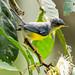 ein anderer winziger gelber Vogel... Elfenwaldsänger / another tiny yellow bird... Tropical Parula