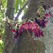 Oxalidaceae: Averrhoa bilimbi (bilimbi, cucumber tree, or tree sorrel) flowers