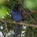 Gralha-azul / Azure Jay