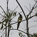 Araçari-de-cinta-dupla (Pteroglossus pluricinctus)