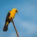 Turpial lagunero, Oriole Blackbird, Gymnomystax mexicanus