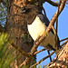 Curl-crested Jay // Gralha-do-campo