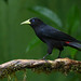 Guaxe / Red-rumped Cacique