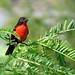 Este bello soldadito suele verse a distancia en pastizales abiertos generalmente húmedos. El color rojo del pecho es típico del macho pues en la hembra apenas si se nota el contraste en sus plumas.