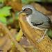 Male Black-faced Antbird (Myrmoborus myotherinus) - Wildsumaco, EC