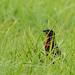 Rotbruststärling / Red-breasted Meadowlark or Blackbird