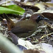 Black-faced Antthrush 0J5A4483-Edit.jpg