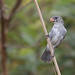 White-bellied Seedeater (Sporophila leucoptera) - male