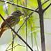 Ramphotrigon ruficauda - Rufous-tailed Flatbill - Picoplano Colirrufo 01