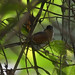 Buff-throated Warbling Finch