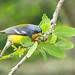 Reinita Tropical, Tropical Parula (Parula pitiayumi) (Setophaga pitiayumi)