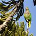 Vinaceous-breasted Parrot // Papagaio-de-peito-roxo
