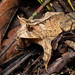 Horned frog (Proceratophrys boiei)
