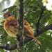 Fauna: Pachyramphus castaneus (Chestnut-crowned becard)