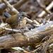 Sharp-tailed Streamcreeper (Lochmias nematura)