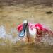 splashing roseate spoonbill