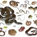 Pantanal herping samples...