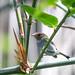 Papa-moscas-estrela (Hemitriccus furcatus) - Fork-tailed Pygmy-Tyrant