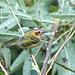 Tororó (Poecilotriccus plumbeiceps) - Ochre-faced Tody-Flycatcher