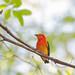 uirapuru-laranja (Pipra fasciicauda) - Band-tailed Manakin