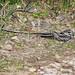 Bacurau-tesoura-gigante (Hydropsalis forcipata) macho