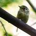 White-throated Spadebill - Platyrinchus mystaceus