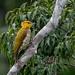 Yellow-throated Woodpecker/Pica-pau-bufador/Carpintero de garganta amarilla (Piculus flavigula) female